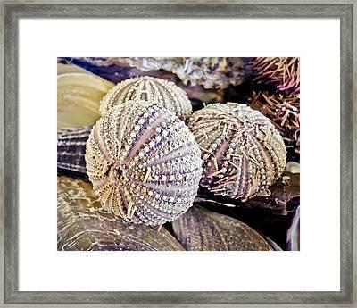 Echinoderm  Framed Print by Colleen Kammerer