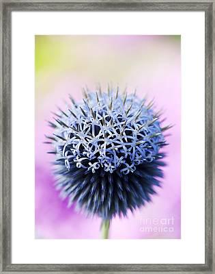 Echinops Ritro Veitchs Blue Flower Framed Print by Tim Gainey