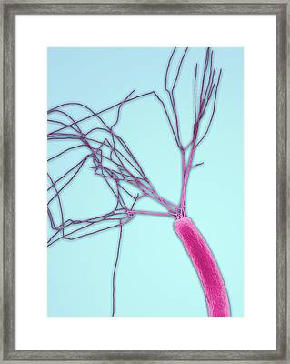 E.coli Bacterium Framed Print by Steve Gschmeissner