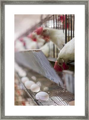 Egg Farming. Hens In A Battery Framed Print by Science Photo Library