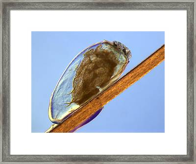 Egg Of Human Head Louse Pediculus, Lm Framed Print by Science Photo Library