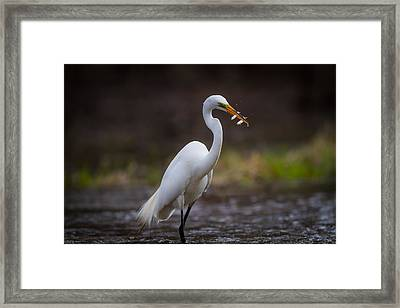 Egret Double Catch Framed Print by Chris Hurst