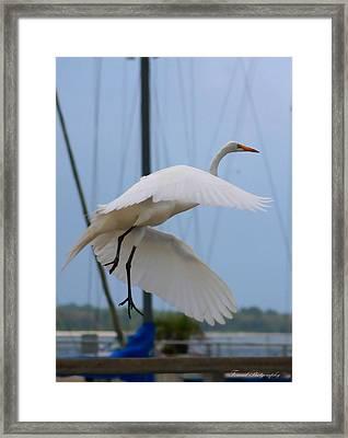 Egret In Flight Framed Print by Debra Forand