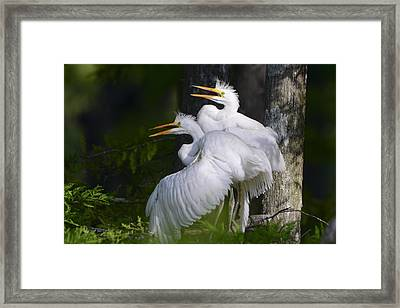 Egret Nestlings In A Cypress Swamp Framed Print by Bonnie Barry