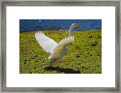 Egret Taking Off Framed Print by Mr Bennett Kent