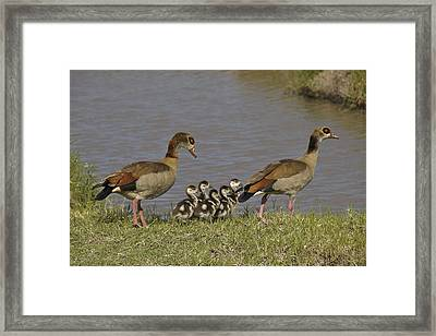Egyptian Geese And Their Fuzzy Dominos Framed Print by Michele Burgess