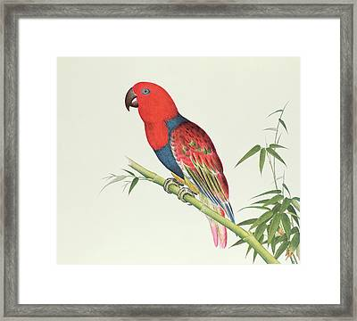 Electus Parrot On A Bamboo Shoot Framed Print by Chinese School