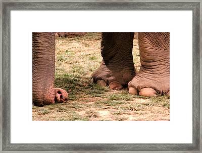 Elephant Framed Print by Amanda Just
