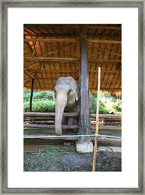 Elephant At Maesa Elephant Camp - Chiang Mai Thailand - 01136 Framed Print by DC Photographer