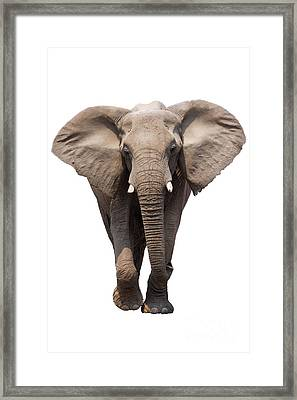 Elephant Isolated Framed Print by Johan Swanepoel
