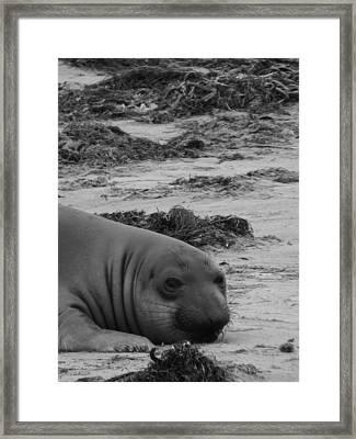Elephant Seal Conteplation Framed Print by Gwendolyn Barnhart