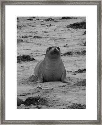 Elephant Seal Framed Print by Gwendolyn Barnhart
