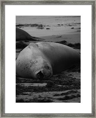 Elephant Seal Laughter Framed Print by Gwendolyn Barnhart