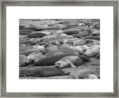 Elephant Seal Sea Framed Print by Gwendolyn Barnhart
