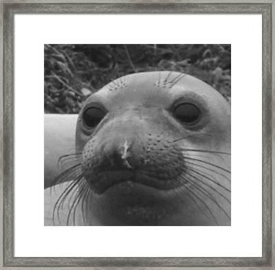 Elephant Seal Smirk Framed Print by Gwendolyn Barnhart