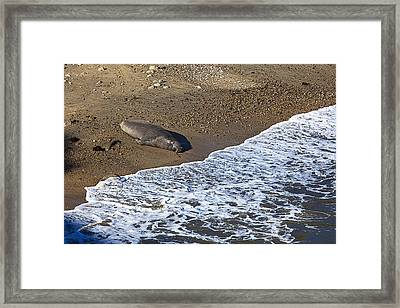 Elephant Seal Sunning On Beach Framed Print by Garry Gay