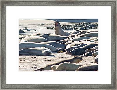 Elephant Seals At Ano Nuevo State Park California Framed Print by Natural Focal Point Photography