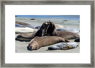 Elephant Seals Framed Print by Mike Ronnebeck