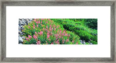 Elevated View Of Fireweed Chamerion Framed Print by Panoramic Images