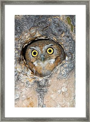 Elf Owl Nesting In Tree Cavity Framed Print by Craig K Lorenz