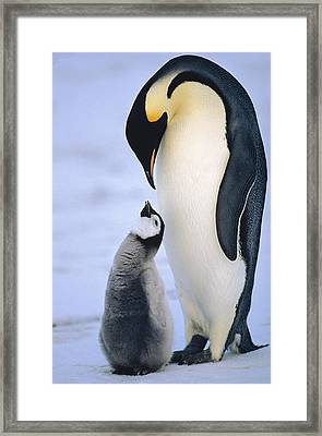 Emperor Penguin Adult With Chick Framed Print by Konrad Wothe