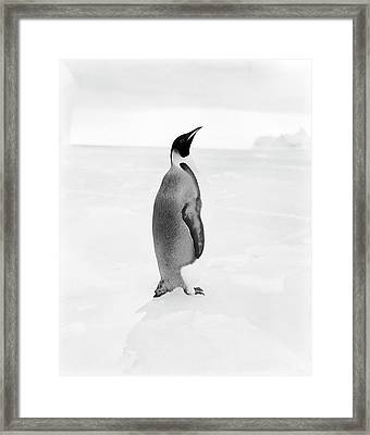 Emperor Penguin In Antarctica Framed Print by Scott Polar Research Institute