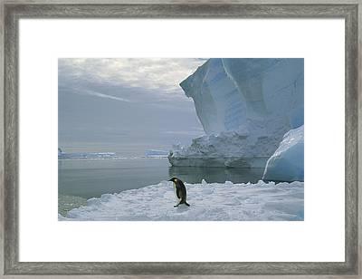 Emperor Penguin Walking Weddell Sea Framed Print by Tui De Roy
