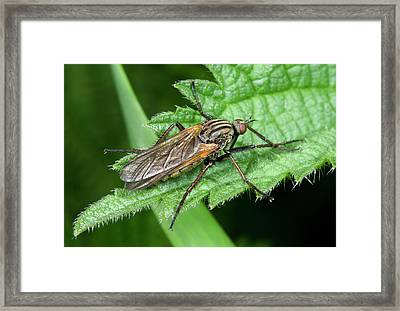 Empid Fly Framed Print by Nigel Downer