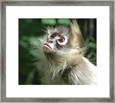 Enchanting Young Spider Monkey Framed Print by Margaret Saheed