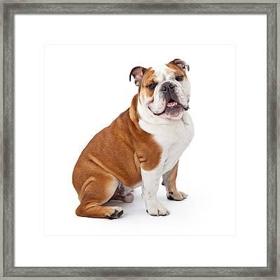 English Bulldog Sitting  Framed Print by Susan  Schmitz