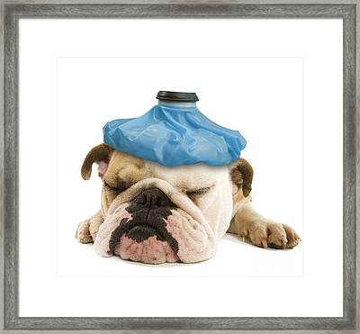 English Bulldog With Ice Pack Framed Print by Jean-Michel Labat