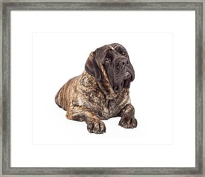 English Mastiff Dog Laying Head Tilted Framed Print by Susan  Schmitz