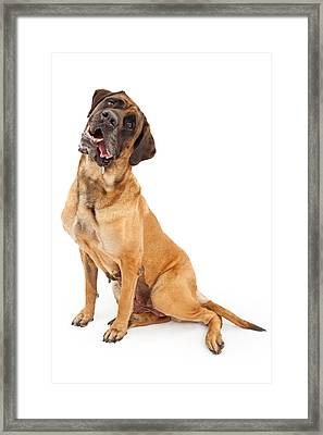 English Mastiff Dog With Tilted Head And Drool Framed Print by Susan  Schmitz