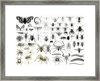 Entomology Myriapoda And Arachnida  Framed Print by English School