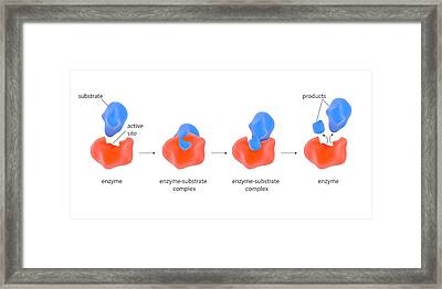 Enzyme Reaction Stages Framed Print by Science Photo Library