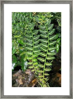 Epiphyte On A Rainforest Tree Framed Print by Dr Morley Read