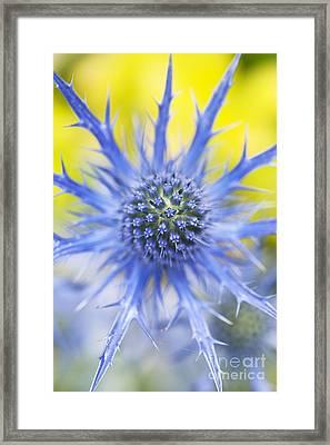 Eryngium X Oliverianum Flower Framed Print by Tim Gainey