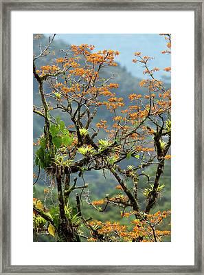 Erythrina Poeppigiana Tree And Epiphytes Framed Print by Bob Gibbons
