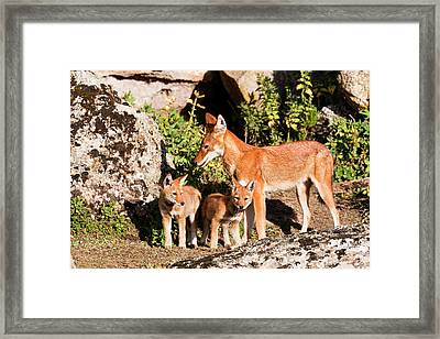 Ethiopian Wolf (canis Simensis Framed Print by Martin Zwick