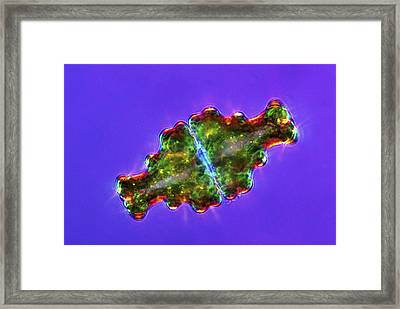 Euastrum Desmids, Light Micrograph Framed Print by Science Photo Library