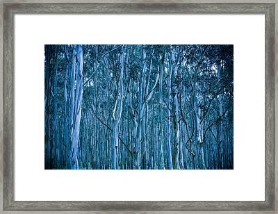 Eucalyptus Forest Framed Print by Frank Tschakert