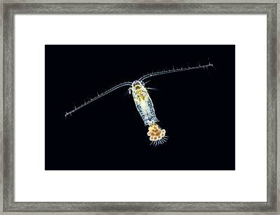 Eudiaptomus Copepode Framed Print by Gerd Guenther