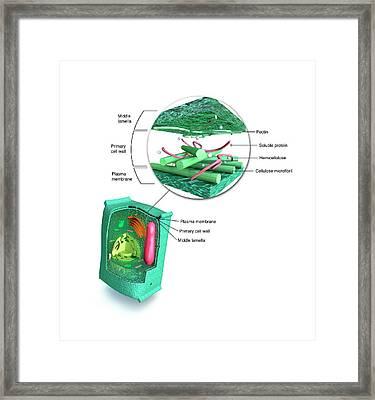 Eukaryotic Cell Structure Framed Print by Mikkel Juul Jensen