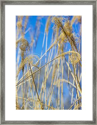 Eulalia Grass Native To East Asia Framed Print by Anonymous