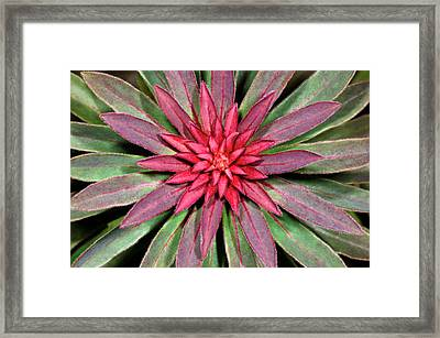 Euphorbia 'rudolph' Abstract Framed Print by Nigel Downer