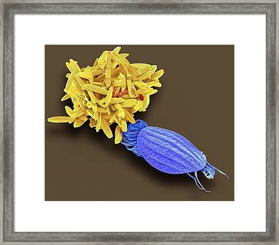 Euplotes Protozoan And Diatoms Framed Print by Steve Gschmeissner