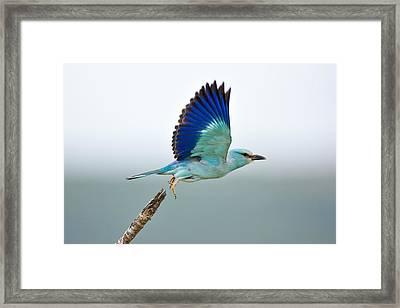 Eurasian Roller Framed Print by Johan Swanepoel