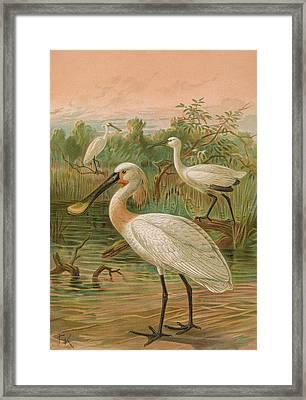 Eurasian Spoonbill Framed Print by J G Keulemans