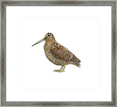 Eurasian Woodcock, Artwork Framed Print by Science Photo Library