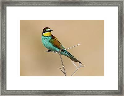 European Bee-eater (merops Apiaster) Framed Print by Photostock-israel